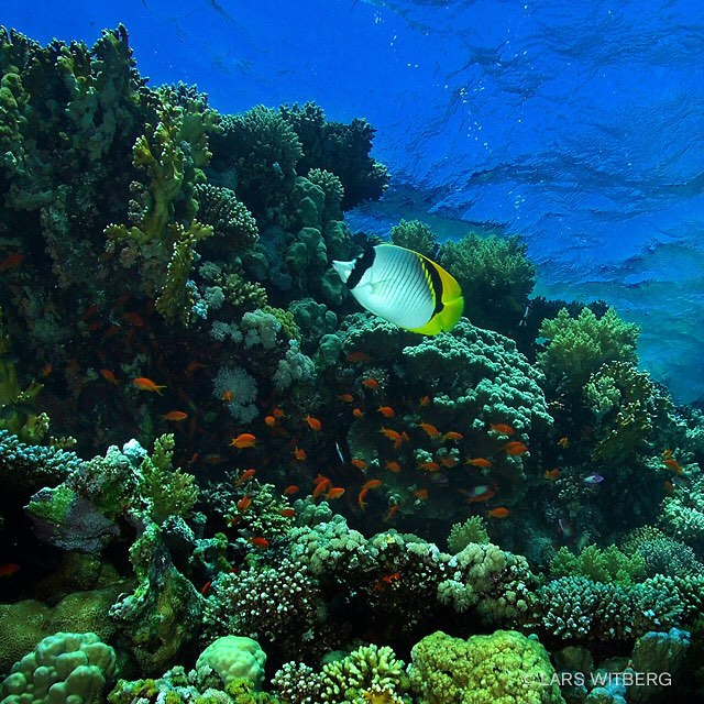 The beautiful coral gardens of Tiran, Egyptian Red Sea. One of the most diverse  coral reefs in the world and a strong contrast to the dry desert landscape above the surface.  #nakedplanet #awsomeglobe #egypt #redsea #sinai #beautifuldestinations #bestplacestogo #canon_photos #TravelAwsome #wonderful_places #marvelshots #amazing_animalpictures #pictoftheday #jj_underwater #instagram #underwater #arrowcrab #travel #scubadiving #underwaterphoto #photo