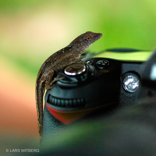 Catching wildlife on camera!  Andros, Bahamas.  #photo #photography #travel #Travler_stories #lizzard #camera #wildlife