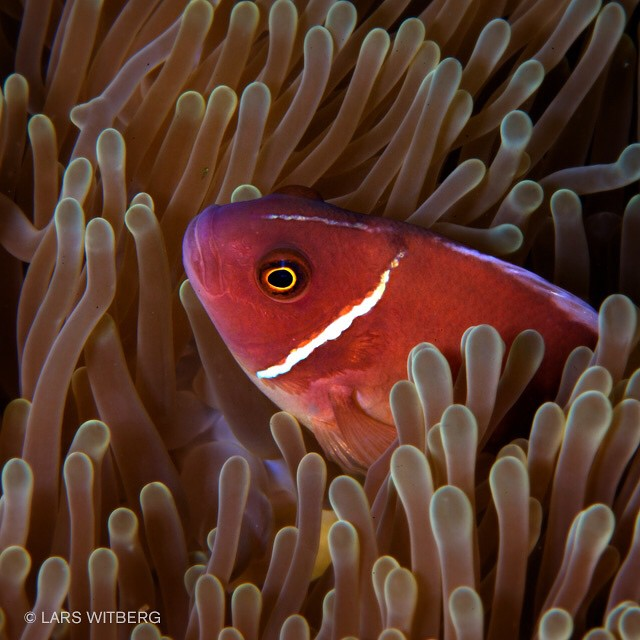 When photographing this little fish, I hover close over the anemone. The closer I get, the more angry the fish gets. Only inches away it constantly attacks me, the camera and the flashes.  Clownfish, Koh Tao, Thailand.  #travel #photo #photography #picoftheday #photooftheday #underwater #underwaterphoto #ocean #thailand #anmlpage #WowCanonViewBug #Travler_stories #TravelAwesome #traveltv