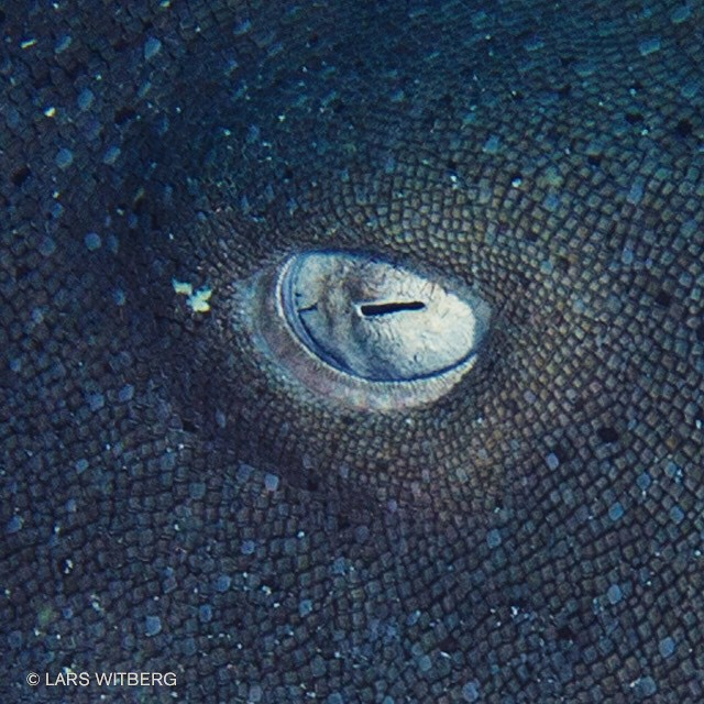 Getting as close as possible. This is the eye of a Nurse Shark resting on the bottom. Antigua, Caribbean. Read the story on: reflections.no  #shark #sharkdiving #diving #underwaterphoto #underwater #travel #Travler_stories #ocean #scuba #scubadiving #caribbean #antigua