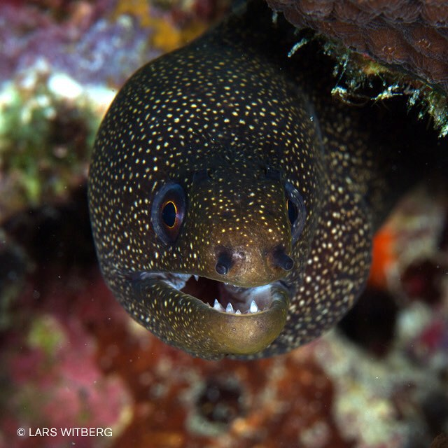 It is approximately 200 species of moray eels in the world. They have poor vision and rely mostly on their acute sense of smell. They are shy and live in crevices in the reef. They usually hide from divers but sometimes you can get quite close. They seem curious. Picture from Curacau.  #underwaterphoto #diving #moray #caribbean #photo #travel #ocean
