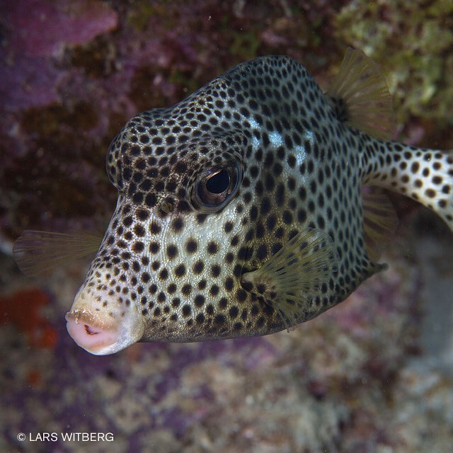 When a fish is a slow swimmer, like this one, it is always a reason. They don't have to. This one is so poisenous when digested, that even large nursesharks can die. Spotted Trunkfish. To a happy underwater photographer, it is harmless. I took this picture on St. Lucia, Caribbean.  #ocean #scubadiving #scuba #Travler_stories #underwater #ocean #photo #photography #caribbean #fish #trunkfish