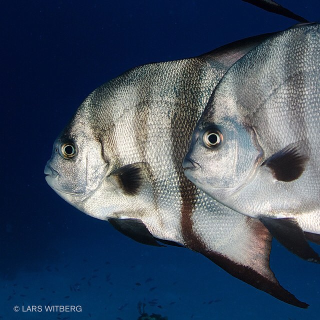 Suddenly they just appear right in front of you. A couple of large batfish. Staring. Curious. They take a short swim around you. Then come back. Stare more. #ocean #batfish #fish #diving #scuba #underwater #underwaterphotography #bahamas #photo #travel