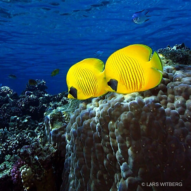 To see bluecheek butterflyfish swim in pairs like this is no coincidence. This is one of the few fish species to have long-term mates. In the wild, the fish eats hard corals as well as benthic invertebrates and stay in shallow water. They are sometimes also called masked butterflyfish. In some areas they are shy and hide for divers but they usually come out if you move slow and wait. I took this picture in the Egyptian Red Sea, on a shallow part, outside Tiran Island.  #awsomeglobe #egypt #redsea #coralreef #canon_photos #TravelAwsome #wonderful_places #marvelshots #amazing_animalpictures #pictoftheday #jj_underwater #instagram #underwater #arrowcrab #travel #scubadiving #underwaterphoto #photo #igscwildlife