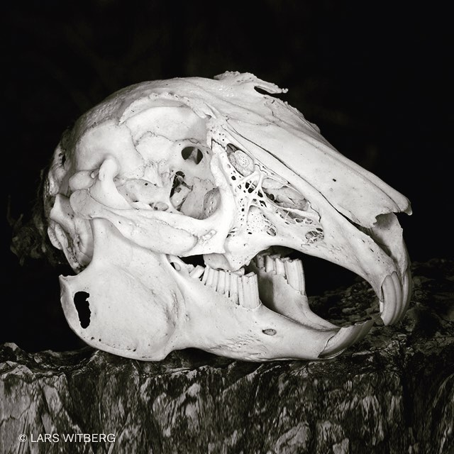 Ok, here is a quiz for you. I was photographing cicadas in the forest on Mallorca, Spain, and I found this skull. What animal do you think it is?  #spain #skull #photography #quiz #holliday #pictureoftheday