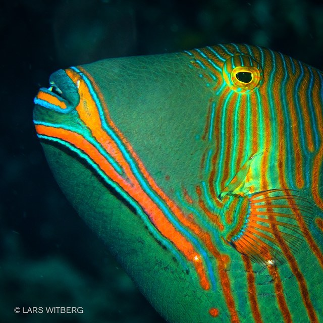 Colors, shapes and patterns never stop to amaze me! This is a orange striped triggerfish. (Balistapus undulatus). Common on the reefs here in Philippines. Very territorial and often aggressive to other fish. When it is hostile it erects the first dorsal fin and attacks. Beautiful fish!  #underwaterphotography #fish #tropicfish #underwaterworld #scubadiving #ig_photooftheday #ig_nature #philippines #adventure