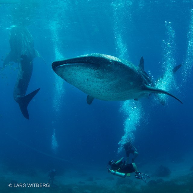 Wonderful whalesharks! whalesharks philippines cebu diving igphotooftheday scubadiving underwaterworld oceanhellip