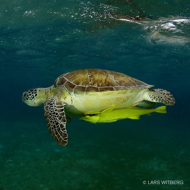 It is always nice to meet turtles under water Thishellip