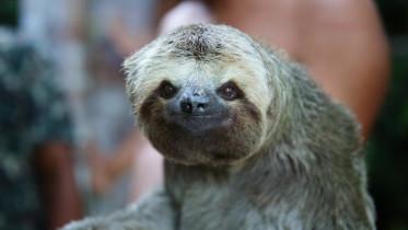 Main_sloth