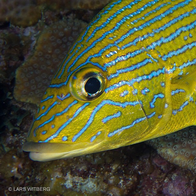 One of the more common fishes on the reef. Blue Striped Grunts. They come in schools and sometimes surround you when you stay still. Here I tried to photograph two small shrimps and this guy was constantly in front of the camera.  #fish #grunts #caribbean #diving #scuba #photo #photograph #underwaterphotography #underwater #reef