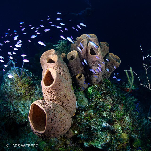 Life around tube sponges is fascinating. Usually you find shrimps, crabs or lobsters inside while fish swim around on the outside.  #sponge #diving #ocean #scuba #reef #underwater #underwaterphotography