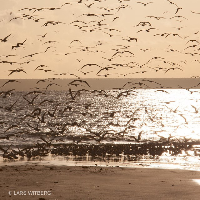 Evening walk at Mejumbe.  #mejumbe #birds #sunset #beach #ocean