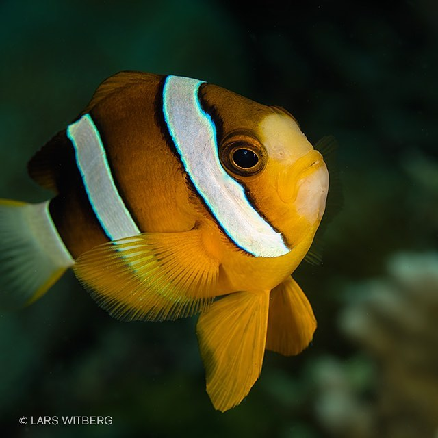 Wonderful Philippines!  #anemonefish #clownfish #philippines #cebu #asia #pictureoftheday #underwaterworld #ig_nature #ig_photooftheday #scubadiving #underwaterphotography