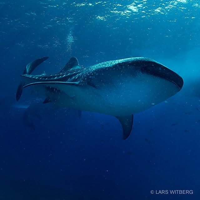 The wonderful gentle giants of the water world Cruising inhellip