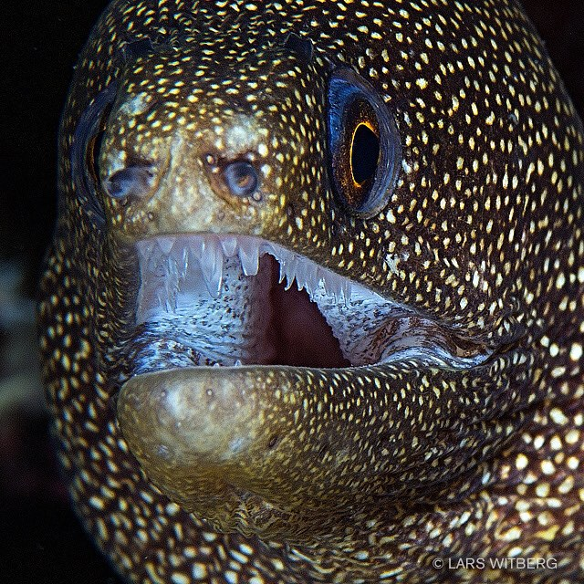 Had to post a close up too!  #morayeel #awsomeglobe #stlucia #caribbean #canon_photos #TravelAwsome #wonderful_places #marvelshots #amazing_animalpictures #pictoftheday #jj_underwater #instagram #underwater #arrowcrab #travel #scubadiving #underwaterphoto #photo #igscwildlife