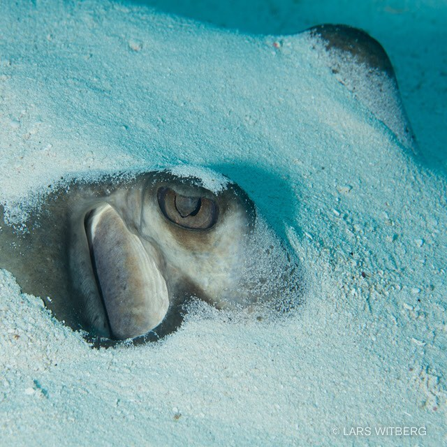 Rays are amazing. This one was hiding in the sand. Only eyes sticking up. I could lay in the sand very close for as long as I wanted. It was breathing slowly. Ready to take off any second.  #mexico #ray #reef #caribbean #igscwildlife #photo #nature #summer #yucatan #yucatanmexico #discoverocean #scubadiving #underwaterphoto