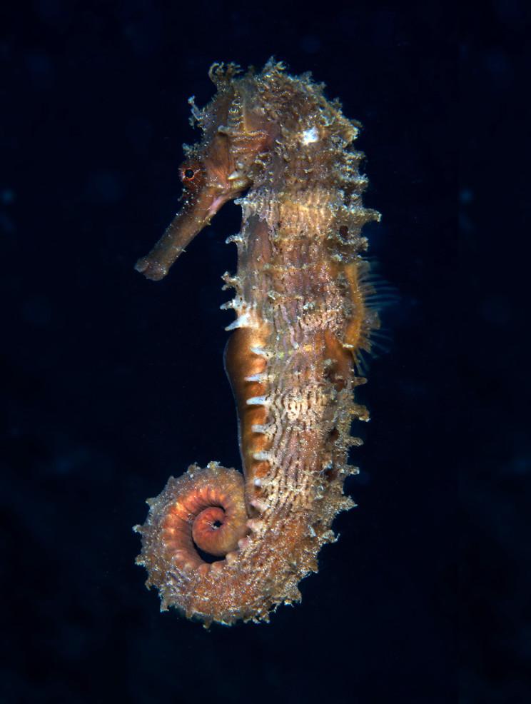 Seahorse_Small