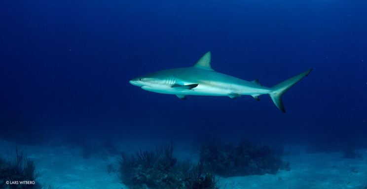 Reef_shark2