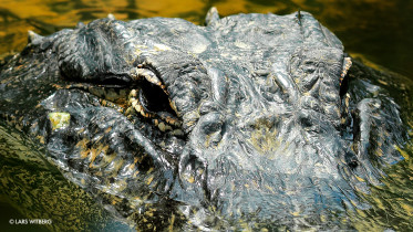 Aligator_main